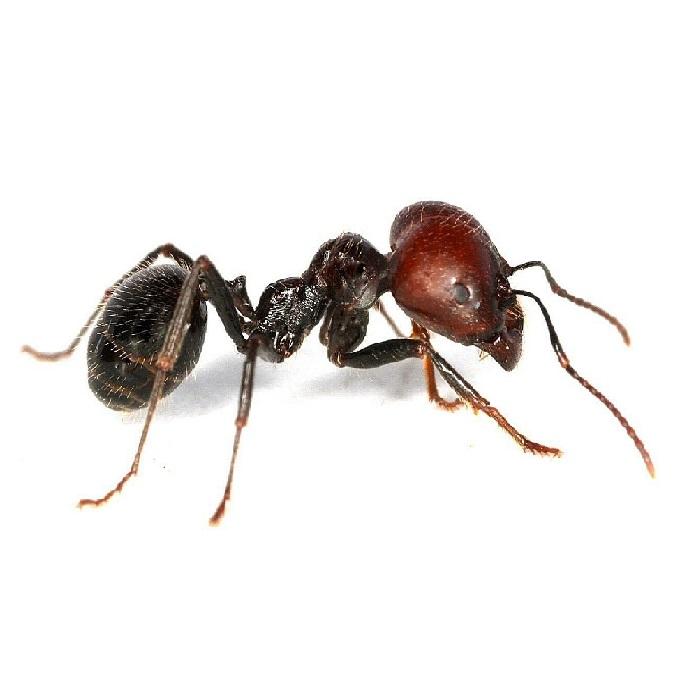 Уничтожение муравьев ПроКомфорт