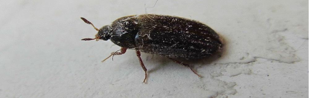 Дезинсекция от жука кожееда ПроКомфорт