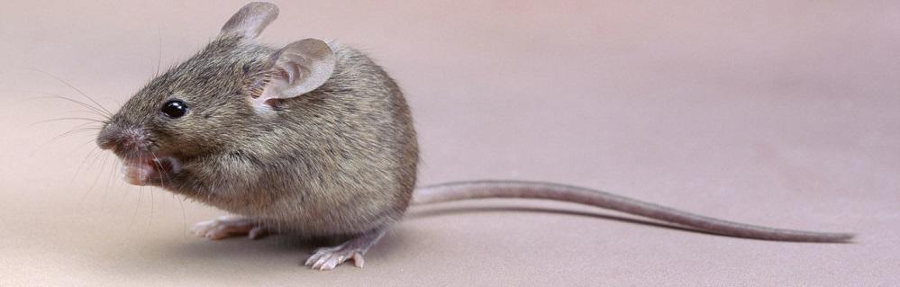 Дератизация мышей ПроКомфорт